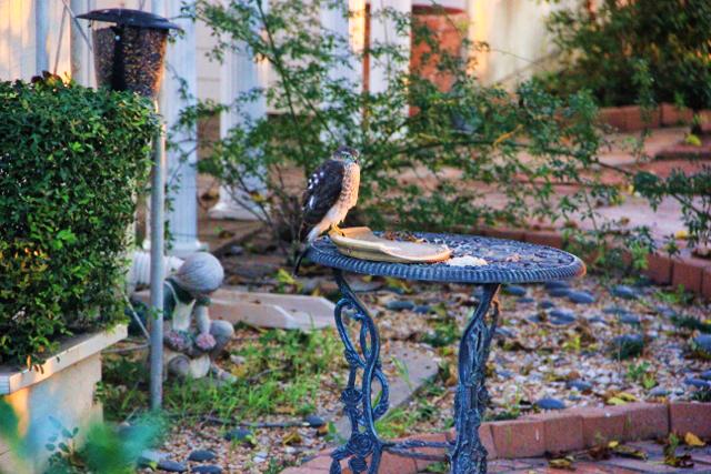 hawk on feeder 009 - Copy (640x427)