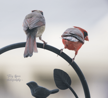 mated cardinals on wrought iron tail feathers 900 _9361