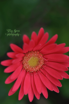 sweet-sixteen-gerbera-daisy1-900_9022