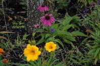 coneflowers daffodils 900 005