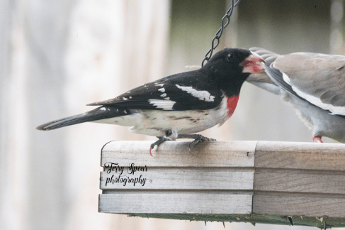 rose-breasted grosbeak 900 _2830