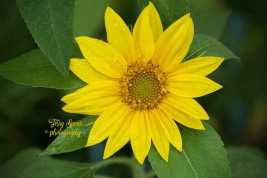 sunflower 900 076