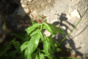volunteer snapdragon and its shadow 900 016