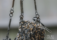 black-capped chickadee 900 048
