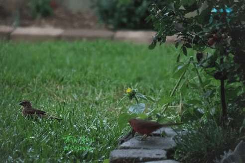 daddy and baby cardinal 900 005