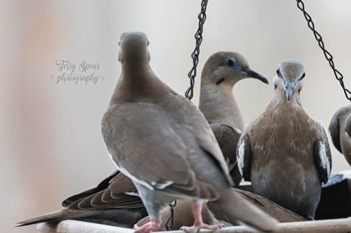 Dule of Doves 900 006