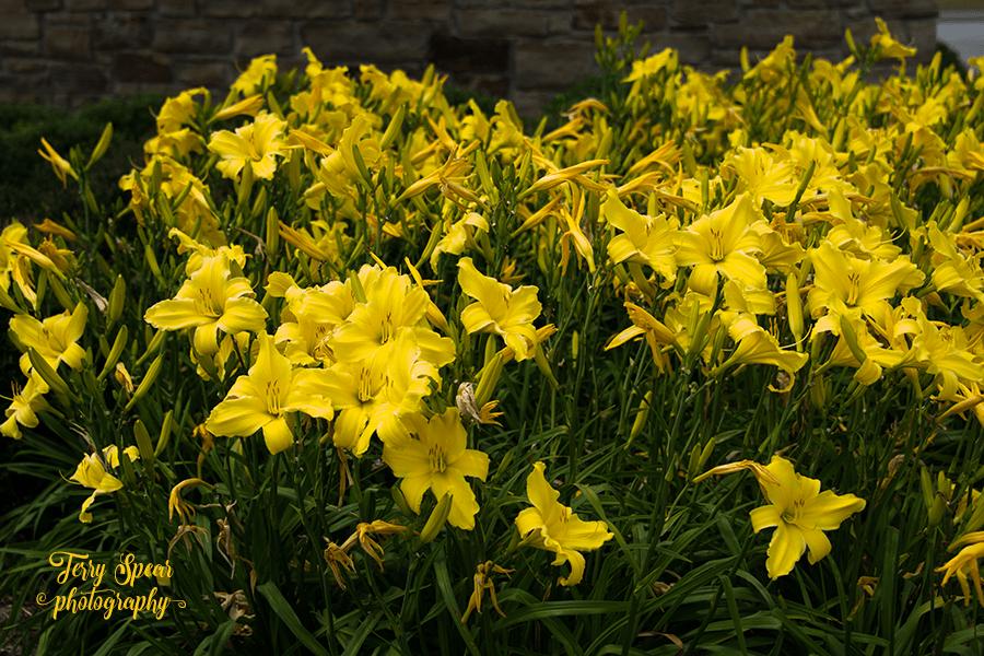 mass of yellow daylily 900 024