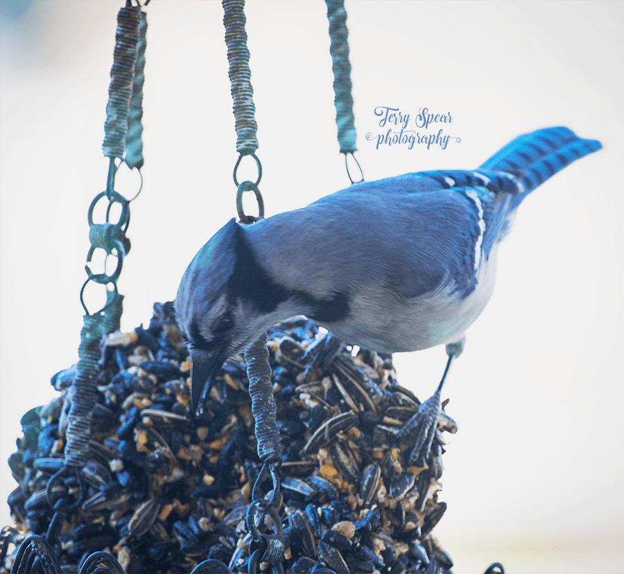 blue jay 900 051