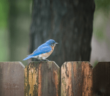 bluebird 900 077