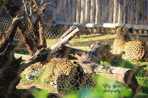 jaguars 900 Cameron Park Zoo 022