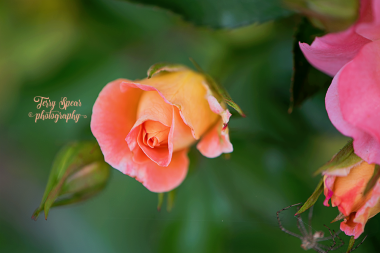 macro peach rose and spider 900 040