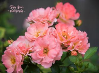 peace flowers 900 047