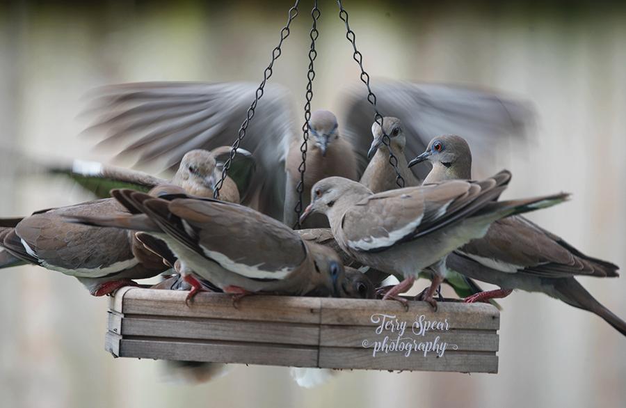 white winged doves on the feeder 900 004