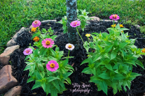 zinnia starting out 900 037