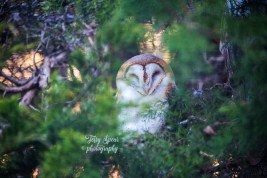 barn owl 900 183