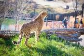cheetah 900 898