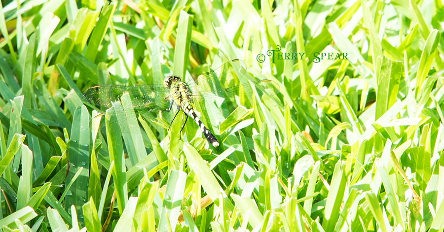 green dragonfly hiding in grass 900 017