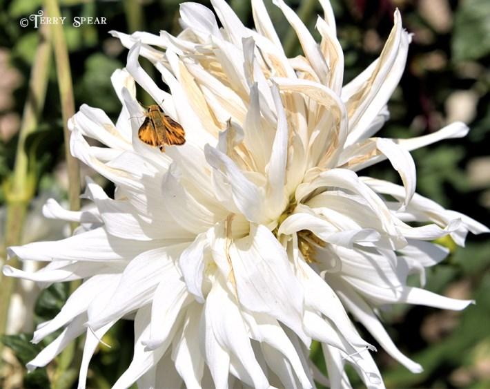 moth on white flower 900 San Diego 3693