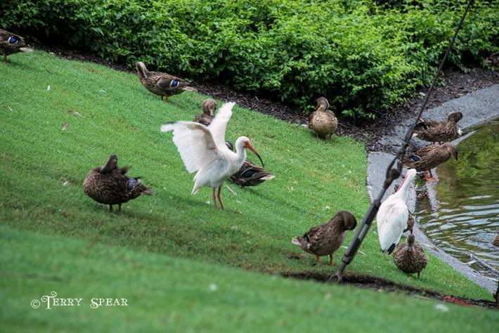 Orlando Disney 900 duck ibis RWA 2017 3922