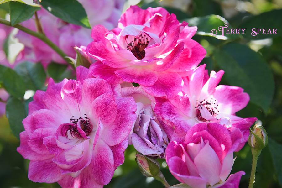 Pretty Pink flowers 900 San Diego 3787