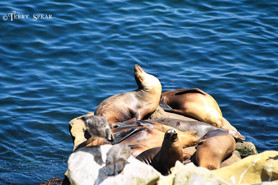 Sea Lions and Seagulls 900 San Diego 4613