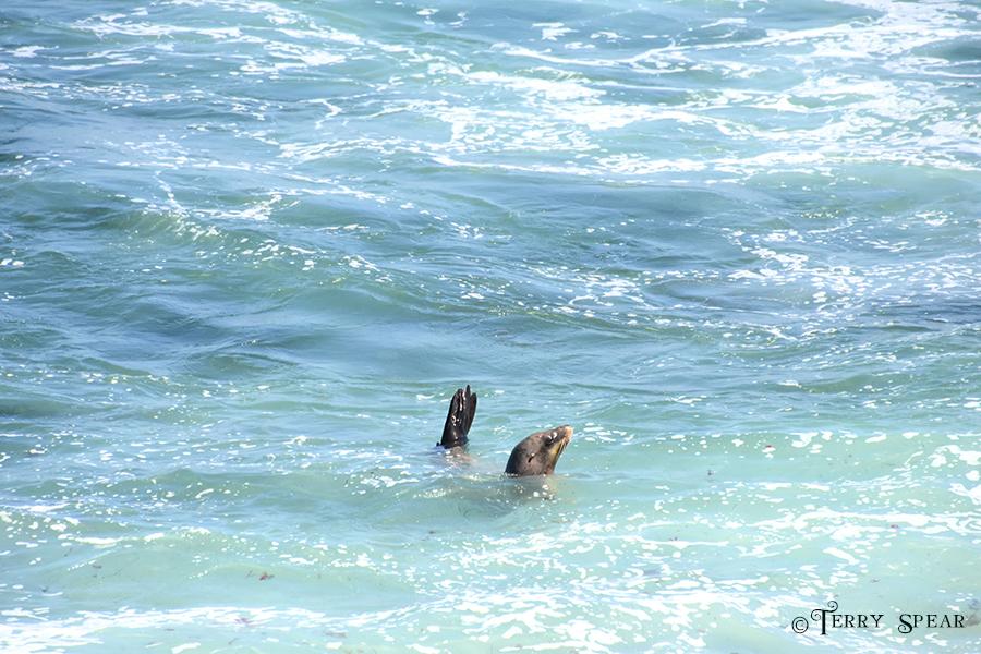 Seal La Jolla Cove Sanctuary for Wild Seals 900 San Diego 3882