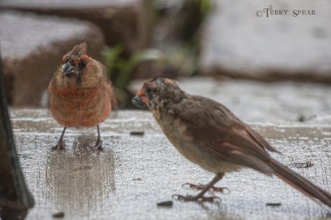Cardinals, momma feeding male baby during Hurricane Harvey rainstorms 900