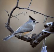 closeup titmouse 900 553