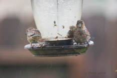 house finches seeking shelter from the rain under the hood of the birdfeeder 900