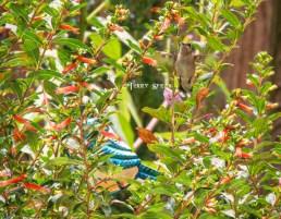 hummingbird 900 076