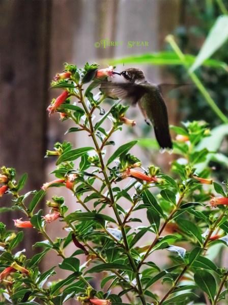 hummingbird closeup 900 003