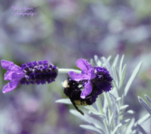lilac curves bumblebee, lavender 900 042