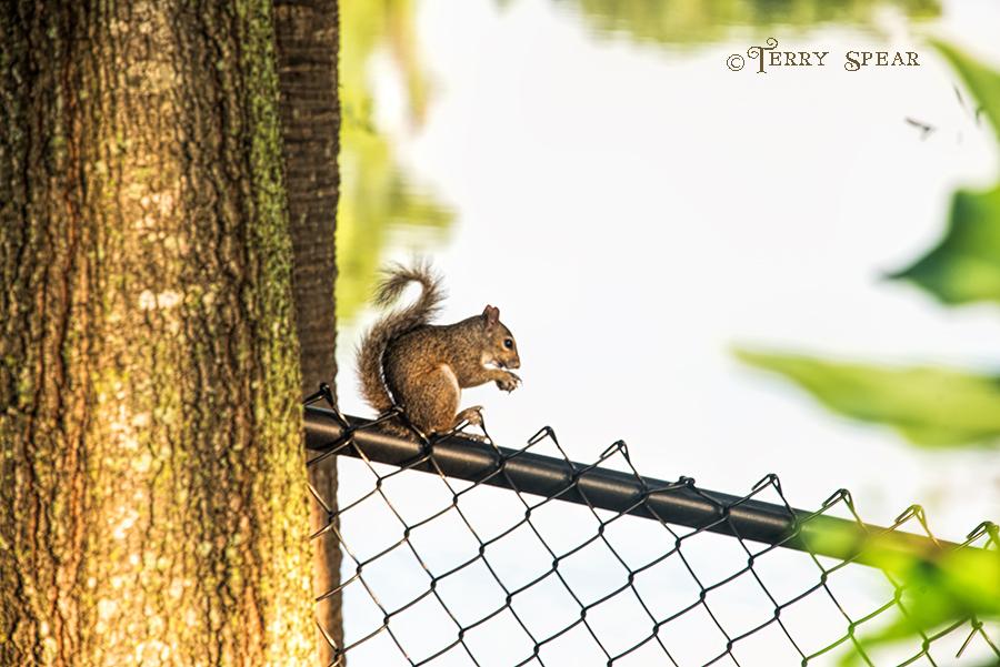 squirrel on fence 900 Orlando Disney RWA 2017 3352