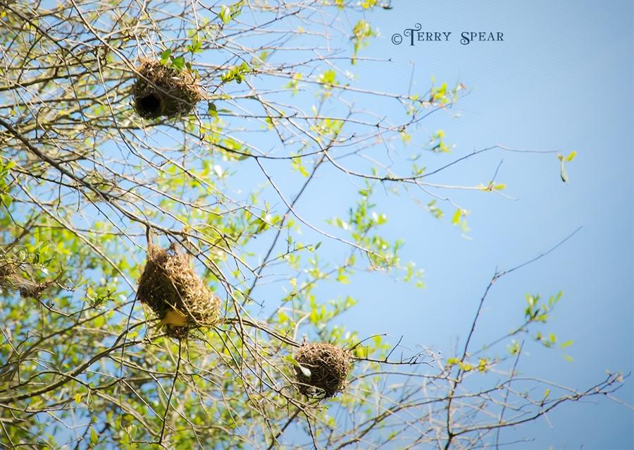 yellow nest weaver nests 900 Orlando Disney RWA 2017 2927