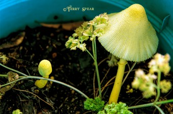 yellow nushrooms 900 001