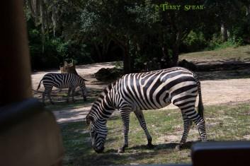 zebras 900 Orlando Disney RWA 2017 2859