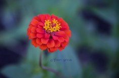 zinnia, bright orange 900 030
