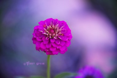 zinnia, hot pink 900 021