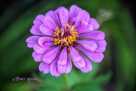 zinnia purple 900 029