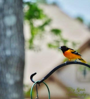 Baltimore Oriole 001 (582x640)