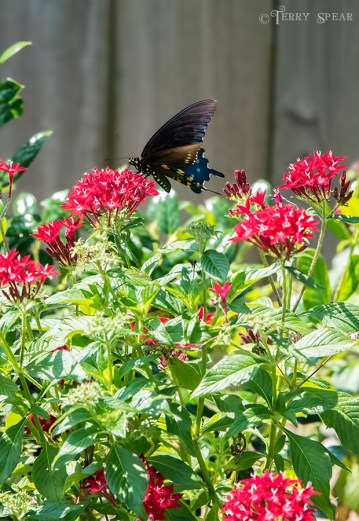 Black Swallowtail Butterfly on pentas, closeup 900 DSC_3929