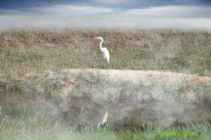 great white heron added sky and fog 900