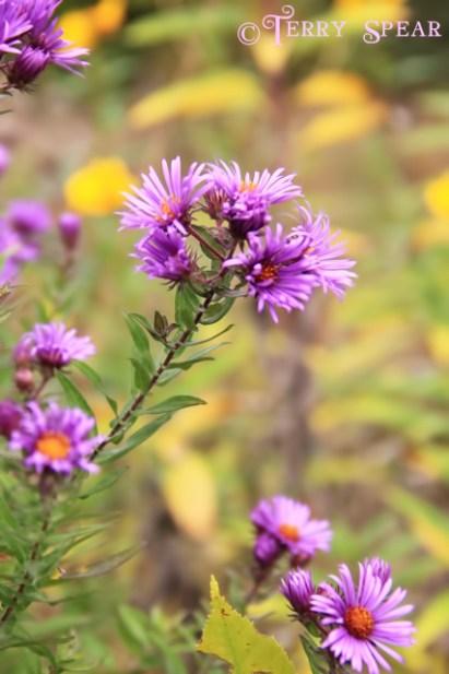 River St Croix fall wild flowers 019 (427x640)
