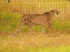 big cat reserve cheetah 900 2444