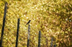 bird on fence 6000 DSC_5928 (800x534)