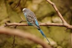 blue parakeet DSC_8386 (800x534) (2)