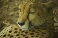 cheetah closeup DSC_6531 (800x534)