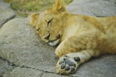 lion cub DSC_6608 (800x534)