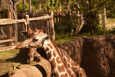 Giraffes nuzzle time Dallas Zoo 6000 1291