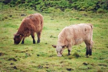 Highland calves 900 Scotland Sept 2015, 6950